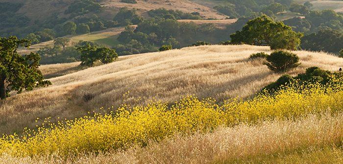 Panorama of golden California hills and mustard field