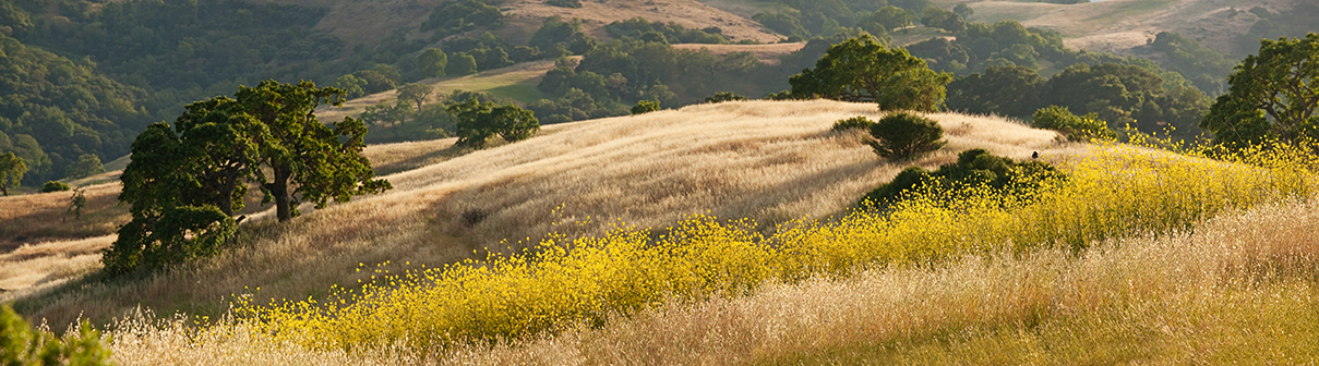 Panorama of golden California hills and mustard field